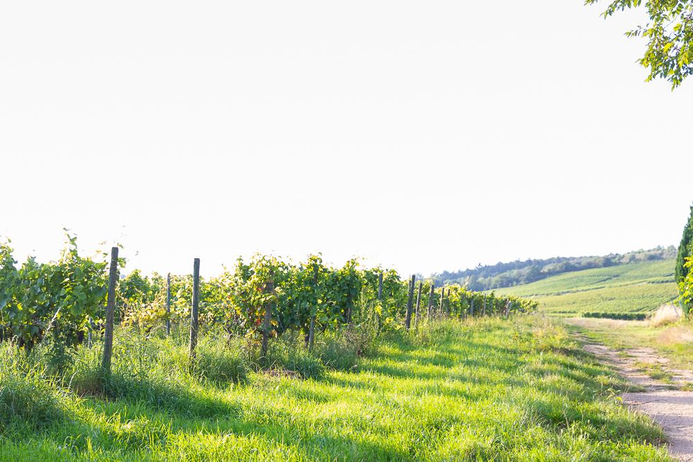 Vinventure Weinprobe mit Barbecue, Weinberge