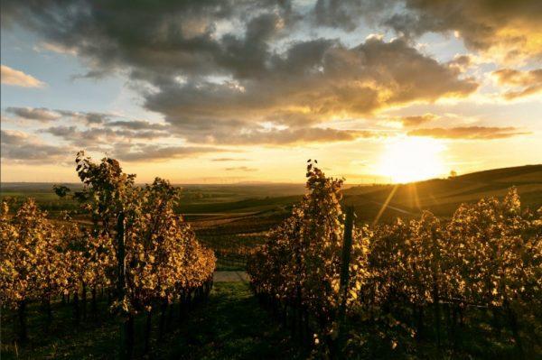 201104_Zornheim_sundown_vineyards_mrkontour